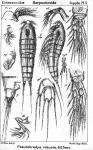 Pseudobradya robusta from Sars, G.O. 1911