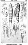 Pseudobradya scabriuscula from Sars, G.O. 1920