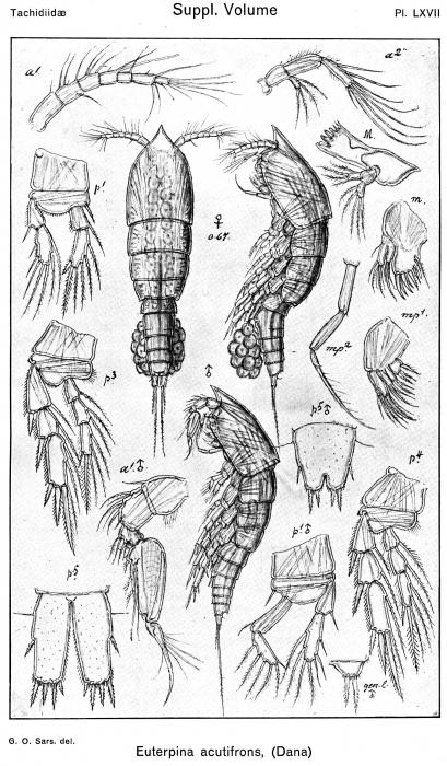 Euterpina acutifrons from Sars, G.O. 1921