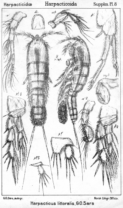 Harpacticus littoralis from Sars, G.O. 1911
