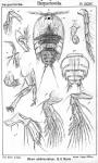 Zaus abbreviatus from Sars, G.O. 1904