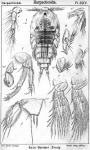 Zaus goodsiri from Sars, G.O. 1904