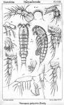 Nannopus palustris from Sars, G.O. 1909