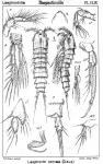 Laophonte serrata from Sars, G.O. 1907