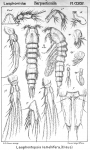 Laophontopsis lamellifera from Sars, G.O. 1908