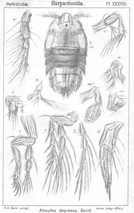 Alteutha depressa from Sars, G.O. 1904