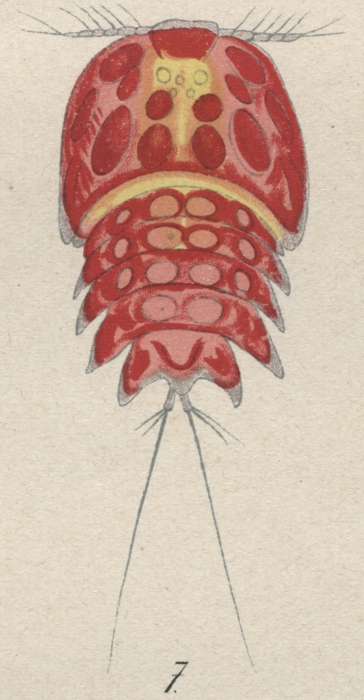 Peltidium purpureum from Brian, A 1921