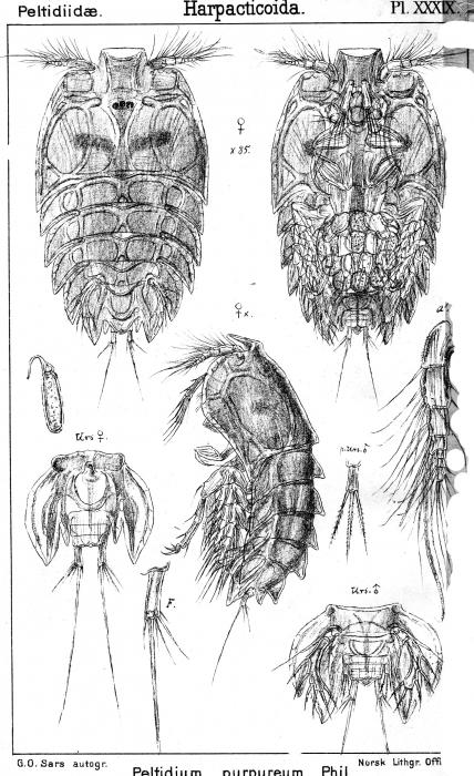 Peltidium purpureum from Sars, G.O. 1904