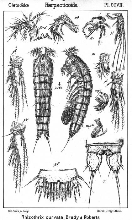 Rhizothrix curvatum from Sars, G.O. 1909