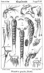 Rhizothrix gracilis from Sars, G.O. 1911