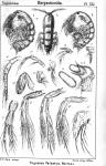 Tegastes falcatus from Sars, G.O. 1904