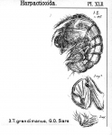 Tegastes grandimanus from Sars, G.O. 1904
