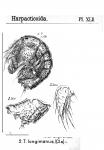 Tegastes longiramus from Sars, G.O. 1904