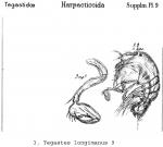 Tegastes longiramus from Sars, G.O. 1911