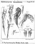Phyllopodopsyllus bradyi from Sars, G.O. 1911