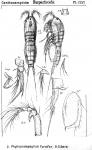 Phyllopodopsyllus furciger from Sars, G.O. 1907