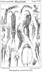 Pteropsyllus consimilis from Sars, G.O. 1911