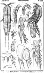 Parathalestris harpactoides from Sars, G.O. 1905
