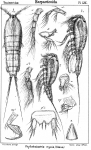 Phyllothalestris mysis from Sars, G.O. 1905