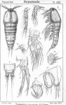 Thalestris brunnea from Sars, G.O. 1905