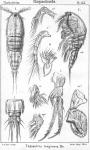 Thalestris longimana from Sars, G.O. 1905