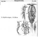 Idyella exigua from Sars, G.O. 1905
