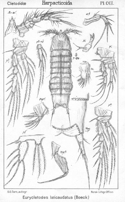 Eurycletodes laticauda from Sars, G.O. 1909