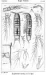Eurycletodes serratus from Sars, G.O. 1920