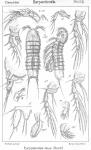 Eurycletodes latus from Sars, G.O. 1909