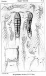 Eurycletodes minutus from Sars, G.O. 1920