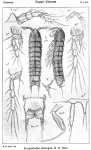 Eurycletodes oblongus from Sars, G.O. 1920