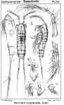 Stenocopia longicaudata from Sars, G.O. 1907
