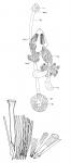 Archimonocelis oostendensis