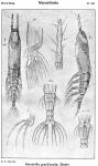 Monstrilla gracilicauda from Sars, G.O. 1921