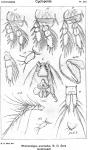Rhinomolgus anomalus from Sars, G.O. 1918