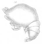 Chondracanthus ornatus from Scott, T 1902