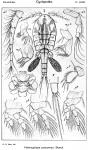 Hemicyclops purpureus from Sars, G.O. 1917