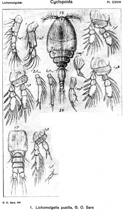Lichomolgella pusilla from Sars, G.O. 1918