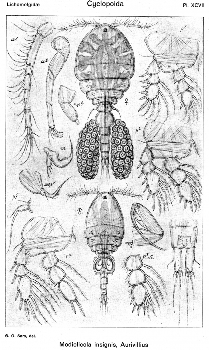Modiolicola insignis from Sars, G.O. 1918