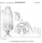 Anomopsyllus pranizoides from Sars, G.O. 1921