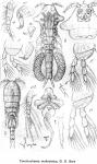 Conchocheres malleolatus from Sars, G.O. 1918