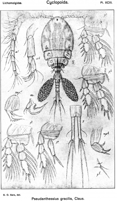 Pseudanthessius gracilis from Sars, G.O. 1917
