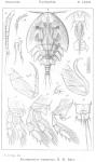 Arctopontius expansus from Sars, G.O. 1915
