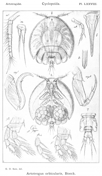 Artotrogus orbicularis from Sars, G.O. 1915