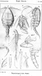 Rhynchomyzon falco from Sars, G.O. 1921