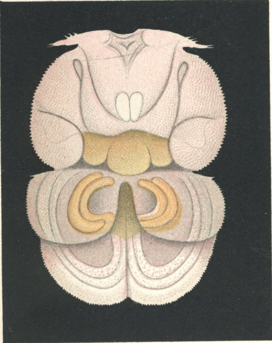Philorthragoriscus serratus from Brian, A 1906