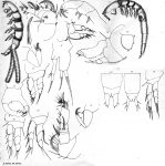 Eudactylina similis from Scott, T 1902