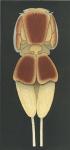 Echthrogaleus coleoptratus from Brian, A 1906