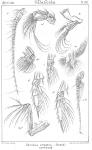 Chiridius armatus from Sars, G.O. 1901