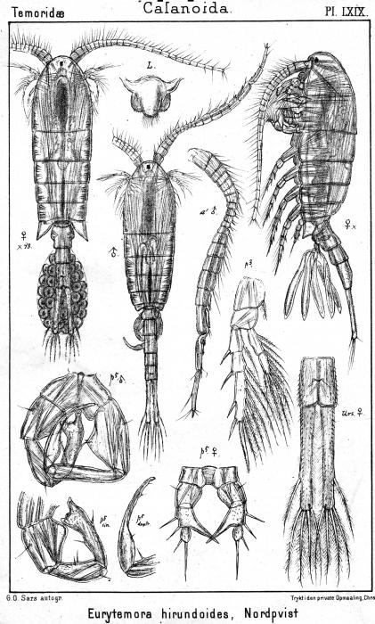 Eurytemora hirundoides from Sars, G.O. 1902